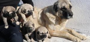 Anne karnında alıcı buluyorlar, kendileri küçük fiyatları büyük Sivas'ın dünyaca ünlü Kangal köpeklerini alabilmek için vatandaşlar aylar öncesinden sıraya giriyor, yavrular daha anne karnındayken satılıyor