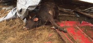 Sivas'ta hayvan yüklü tır devrildi