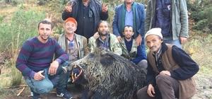 Bursa'da tarlalara dadanan 310 ve 252 kiloluk domuzları avladılar
