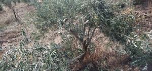 Manisa'da zeytin ağacı katliamı 500'den fazla zeytin ağacının tahrip edildiğini gören vatandaş, durumu jandarmaya bildirdi