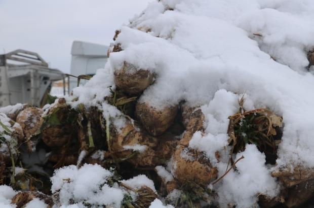 Kar altında pancar mesaisi Sivas'ta kar yağışı ve soğuk hava şeker pancarı çalışmalarına engel olamadı