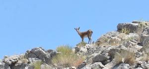 100 yıl sonra görülen yaban keçileri, fotokapanla korunacak
