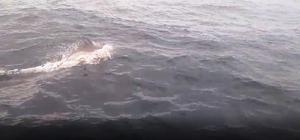 Marmara'da yunus şöleni Yaklaşık 50 yunus, Orion isimli tekneye sürpriz yaptı