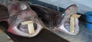 Balık avlarken 2 köpek balığı çıktı