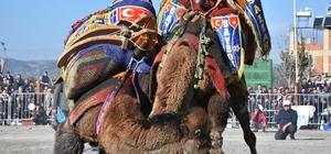 İncirliova'da develer eğitim için güreşti