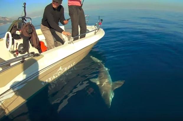 Antalya'da dev köpek balığı oltaya geldi Köpek balığı misinayı kopartıp balıkçıların elinden kurtulmayı başardı