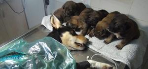 Yavruları, tüfekle vurulan av köpeğinin başından ayrılmadı Vicdansızlar 6 yavrusu olan köpeğe acımadılar Olay yerine giden ekipler yaralı köpek ve başındaki 6 yavruyla karşılaştı