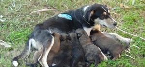Vicdansızların vurduğu sokak köpeği yavrularına kavuştu Av tüfeğiyle vurulan sokak köpeği yavruların emzirmeye başladı
