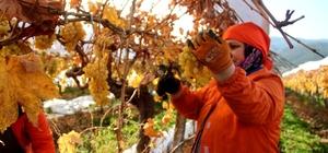 Manisa'da Ocak ayında üzüm hasadı 2020'nin ilk üzüm hasadı Manisa'da yapıldı