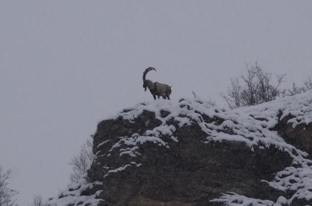 Tunceli'de karda dağ keçileri yiyecek ararken görüntülendi 2 gündür kar yağışının etkili olduğu Tunceli'de 218 köyün yolu kapanırken, dağlık alanda kar altında yiyecek arayan dağ keçileri de görüntülendi