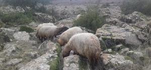 Kaybolan 8 koyunu jandarma buldu