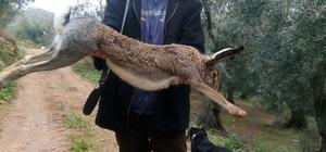 Kanguru gibi tavşan