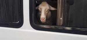 Jandarma denetiminde durdurulan araçtan 15 adet küpesiz koyun çıktı