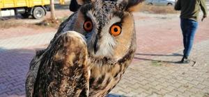 Antalya'da nesli tükenmek üzere olan 'puhu baykuşu' bulundu Belediye ekiplerinin ağaç budarken rastladığı yaralı baykuş, tedavi altına alındı