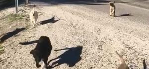 Dağa bırakılan sokak köpeklerini bulunca gözyaşlarına hakim olamadı Antalya'da hayvan barınağından kamyonete yüklenen 20'ye yakın sokak köpeğinin dağlık alanda ölüme terk edildiği iddia edildi Hayvanların bakımını üstlenen kadın, kiraladığı kamyonla gittiği dağlık alanda köpekleri bulunca sevinç gözyaşları döktü O anları cep telefonuyla kaydeden kadın, hayvanları tekrar kamyona yükleyip barınağa getirdi