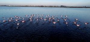 Kış mevsimi ılıman geçince flamingolar göç etmedi Çukurova Deltası'nda kış ortası su kuşu sayımına başlandı 3 yıl önce yaklaşık 90 bin flamingonun görüldüğü bölgede 90 flamingo tespit edildi