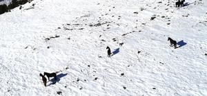 25 yıldır yılkı atlarına bakıcılık yapıyor Sivaslı Mehmet Korkmaz, doğadaki yılkı atlarını sert kış şartlarında sağ kalmaları için ahırlarında besliyor
