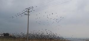 Binlerce sığırcık kuşu meyve bahçelerine dadandı