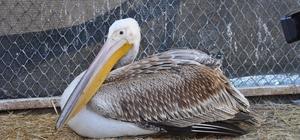"""Göç yorgunu aç ve yaralı pelikan tedavi altına alındı AKÜREM Müdürü Doç. Dr. Emine Hesna Kandır; """"Muhtemelen yeterince beslenemedi, göç için yeterli gücü saplayamadı ve o nedenle burada kalmak zorunda kaldı"""""""