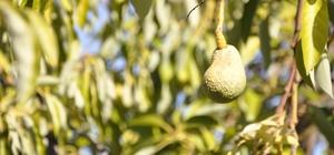 Avokadoyu hastalık vurdu rekolte 5'te bir oranında düştü Antalya'nın Gazipaşa ilçesinde avokado bahçelerde baş gösteren kabuk biti ve mantar hastalığı ağaçları kurutunca, avokado rekoltesi 5'te bir oranında düştü