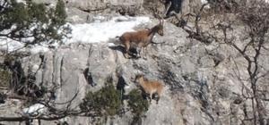 Dik yamaçta kurt ve yaban keçisi kardeşliği Kurt yaban keçilerini avlamak yerine izlemeyi tercih etti