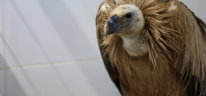 Ateşli silahla vurulan kızıl akbaba koruma altına alındı Büyükşehir yaban dostlarına sahip çıkmaya devam ediyor
