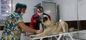 Yavruyken takılan tasma talihsiz köpeğin boğazını kesti Tasma dolayısıyla boynu kesilen köpeğe Çankırı Belediyesi sahip çıktı