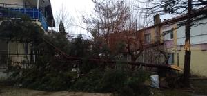 Selendi'de şiddetli rüzgar ağaçları devirdi