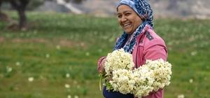 Nergis üreticinin yüzünü güldürdü Mersin Büyükşehir Belediyesince üreticilere dağıtılan nergislerin hasadına başlandı