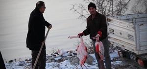 İvriz Barajı'nda 12 flamingo ölü bulundu