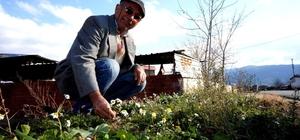 Doğuda kış batıda bahar Baharın müjdecisi papatyalar açtı Manisa'da sıcak havayı gören papatyalar çiçek açtı
