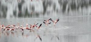 Konya'da 13 flamingo soğuktan öldü Halkapınar ilçesindeki İvriz Barajı'nda flamingoların ölü bulunmasının ardından belediye ekipleri yemleme çalışması yaptı