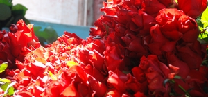 Çiçekler, 14 Şubat için toplandı Çiçek üreticileri ve satıcıları mezatta buluştu Gül fiyatları bu yıl artacak Menderes'in gülleri 14 Şubat'a hazır En çok tercih edilen çiçek, kırmızı gül