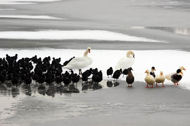 Kayseri'de göl dondu Donan göl yüzeyindeki kaz ve kuşlar kartpostallık görüntüler oluşturdu