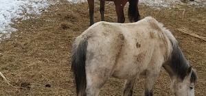 Derecik'te donmak üzere olan sahipsiz atlar kurtarıldı