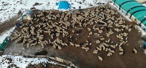 Elazığ'da kuzuların anneleriyle muhteşem buluşması Deprem felaketinin yaşandığı Elazığ'da, baharın habercisi kuzuların anneleriyle buluştuğu anlar yürekleri ısıtan görüntüler oluşturdu