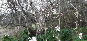 Antalya'da bademler erken çiçek açtı