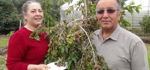 Türkiye'de ilk kez üretildi Antalya'nın Gazipaşa ilçesinde, 3 yıl önce deneme amaçlı dikilen tropikal ketembilla ilk meyvelerini verdi