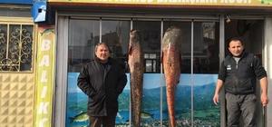 Tutulan 2 metrelik dev yayın balığı görücüye çıktı