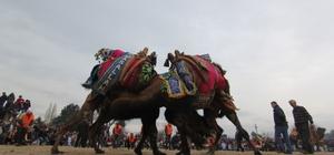 Menderes'te deve güreşlerine geri sayım