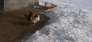 Tavuklarını yemek isteyen tilkiyle dakikalarca sohbet etti