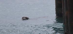 Hareketsiz kalan Akdeniz foku için adeta alarm verildi Yorgun yavru fok, bir süre sonra kendiliğinden sahilden uzaklaşınca herkes rahat bir nefes aldı