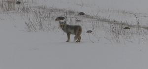 Kars'ta tilkilerin yiyecek arayışı