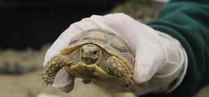 Sosyal medyadan satılmaya çalışılırken ele geçirilen kaplumbağalar yeni yuvasında sağlığına kavuştu Film gibi operasyonla ele geçirilen kaplumbağalar karantinadan çıkartıldı