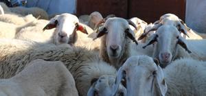 Bu koyun, üreticisine az maliyetle çok verim elde ettiriyor Eşme koyunu ıslah çalışmaları üreticinin yüzünü güldürüyor