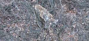 Köpeklerden korkup ağaca çıkan vaşak ekiplerin müdahalesiyle kurtuldu