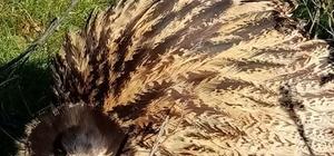 Köpeklerin saldırdığı balaban kuşunu kurtardı