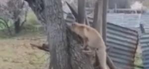 Tilki kedinin saldırısıyla neye uğradığını şaşırdı Tunceli'de bir kedi ağaçta yanına yaklaşan tilkiye saldırarak, korkutup kaçırdı o anlar kameraya yansıdı Bir vatandaş ise borular arasına kafası sıkışan kargayı kurtardı