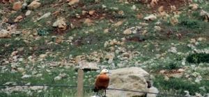 Sadakatin simgesi olan angut kuşu Göksun'da görüntülendi