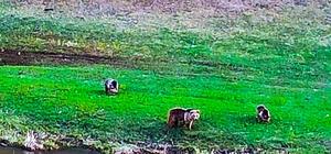 Kış uykusundan uyanan Boz ayılar dere yatağına indi